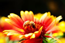 Free Red And Orange Flower With A Bee Stock Photos - 20520683