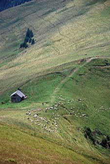 Sheep Grazing Royalty Free Stock Images