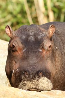 Free Young Hippo Looking At You Stock Photo - 20522520