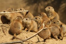 Large Group Of Little Baby Prairie Dogs Stock Image