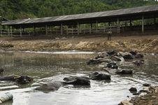 Free Resting Buffaloes Royalty Free Stock Image - 20524206