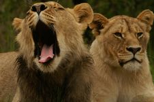 Lion Couple Relaxing Stock Image