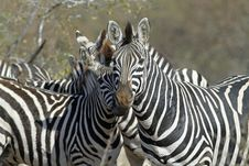Free Zebras Watching Royalty Free Stock Photos - 20525088