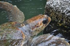 Free Turtle Going For A Swim Royalty Free Stock Photo - 20525155