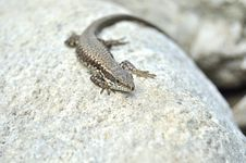 Free Lizard Royalty Free Stock Image - 20525176