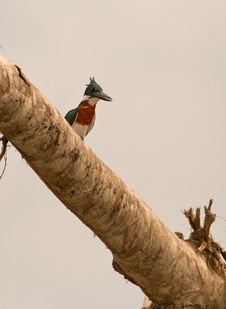 Free A Green Kingfisher Suddenly Appears Stock Photos - 20527413