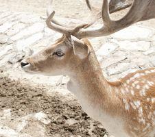 Free Deer 2 Stock Photos - 20527513