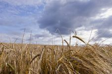 Free Barley Field Waiting Harvest Royalty Free Stock Images - 20527729