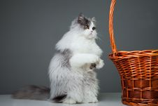 Funny Persian Cat Sitting Near Basket On Grey Stock Photo