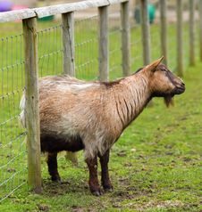 Free Goat With An Itch Royalty Free Stock Images - 20529039