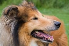 Free Collie Dog Close-up Stock Image - 20529091
