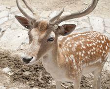 Free Deer 3 Stock Photography - 20529652