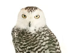 Free Owl Royalty Free Stock Photography - 20529657