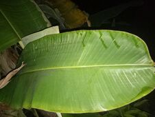 Free Banana Leaf In Night Royalty Free Stock Images - 205287409