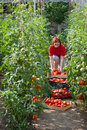 Free Woman Picking Tomatoes Royalty Free Stock Image - 20531416
