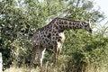 Free Browsing Giraffe Royalty Free Stock Photography - 20532467