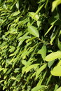 Free Green Leaves In The Sunshine Stock Photos - 20536473