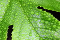 Free Drops On Leaf Royalty Free Stock Photo - 20538405