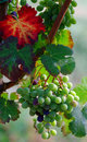 Free Bunch Of Grapes Royalty Free Stock Photo - 20539025