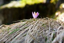 Free Crocus Flower Stock Photo - 20530140