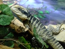 Free Lizard Stock Images - 20530194