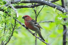 Free A Red Grosbeak In Alaska Royalty Free Stock Photos - 20530548