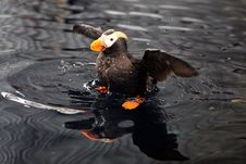 An Alaskan Puffin Royalty Free Stock Image