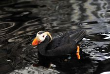An Alaskan Puffin Royalty Free Stock Images