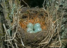 Free Nest Of Thrush 12 Stock Images - 20531864