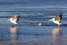 Australian Pelican Birds Landing On Water Stock Photography