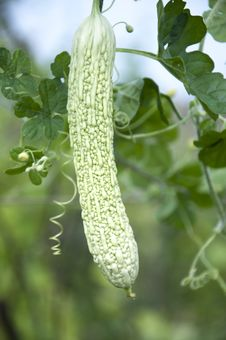 Free Bitter Gourd Royalty Free Stock Photos - 20533018