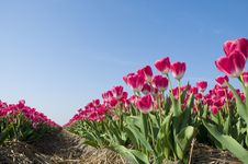 Free Red Tulips Against A Blue Sky Stock Photos - 20533753
