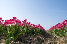 Free Red Tulips Against A Blue Sky Stock Image - 20533771