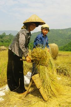 Free Portrait Of A Thai Woman In The Harvest. Stock Photos - 20536893