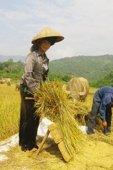 Free Portrait Of A Thai Woman In The Harvest. Stock Photos - 20536913