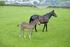 Free Chestnut Mare And Foal Stock Image - 20537601