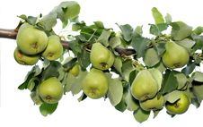 Pears Hang On A Branch Royalty Free Stock Image