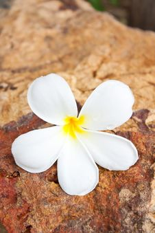 Free Plumeria Flower Royalty Free Stock Photo - 20538095