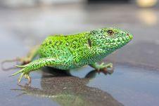 Free Green Lizard Royalty Free Stock Photos - 20538138