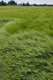 Free Barley Field In Summer Day Royalty Free Stock Photos - 20538148
