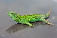 Free Green Lizard Stock Photo - 20538150