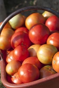 Free Basket Of Biological Tomatoes Stock Image - 20538791