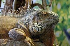 Free Iguana Macro Stock Photos - 20538943