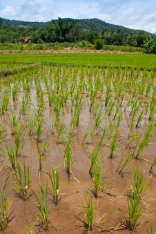 Green Field, Asia Paddy Field Royalty Free Stock Photos