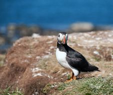 Free Puffin On The Island Of Lunga Stock Images - 20539924