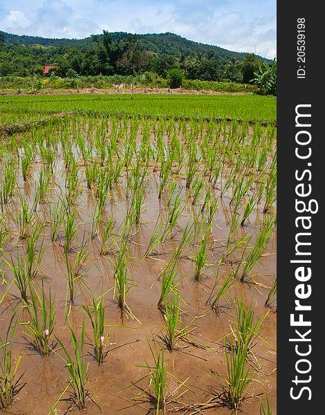 Green field, Asia paddy field