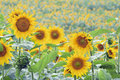 Free Field Of Sunflowers Royalty Free Stock Photo - 20541245