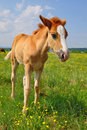 Free Foal  On A Summer Pasture. Stock Images - 20545944