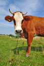 Free Cow On A Summer Pasture Stock Photos - 20546133