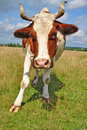 Free Cow On A Summer Pasture Stock Images - 20546334